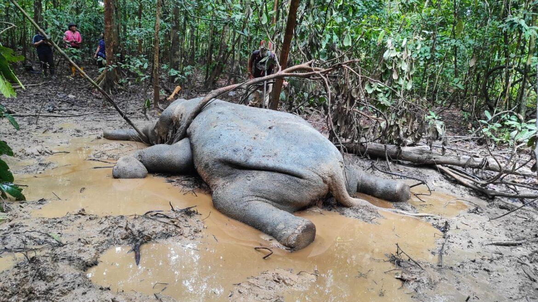 Gajah Pigmi ditemui mati