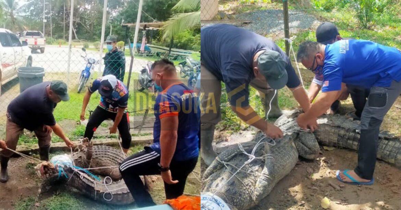 Sang bedal 300 kilogram terperangkap dalam parit ditangkap
